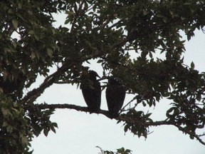 Vultures in trees