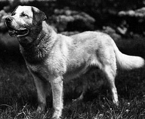 The chinook dog