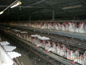 Industrial Chicken Farms