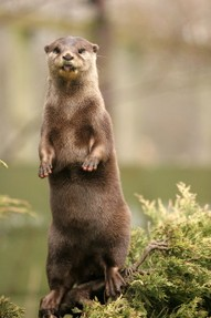 This otter's no slouch - good posture