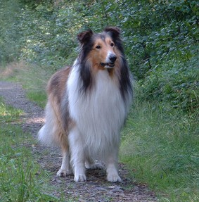 "Rought or ""Long Haired"" Collie"