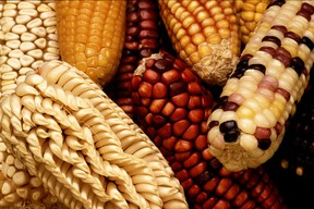 Maize Varieties - Wikicommons