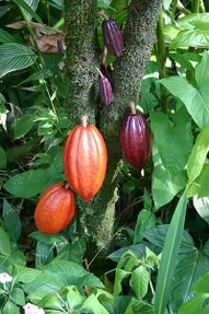 Cocoa tree and pods - WikiCommons