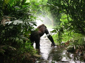 Gorilla in the Jungle