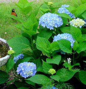 big leaf hydrangeas