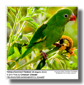 Yello-Chevroned Parakeet