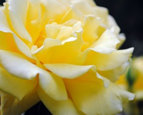 Meaning of yellow roses