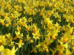 a field of yellow daffodils