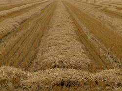 Image: Harvested Field