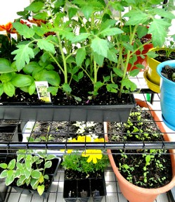 tomatoes, lettuce in pots