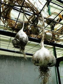 garlic drying in the greenhouse