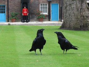Image: Tower of London Ravens