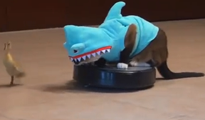 Image: Cat dressed as a shark, chasing a duck, on a Roomba