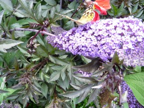 Lilac with Butterfly in Arundel Castle Gardens