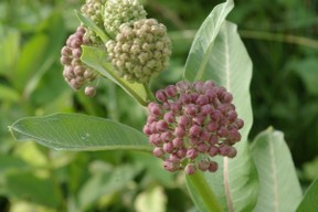 Common milkweed buds