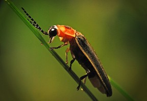 firefly close up