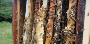 honeybees in the comb of the super boxes