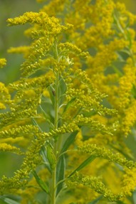 goldenrod weed