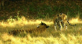 Male Tiger With Cub