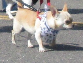 Chihuahua walking in the Furry Scurry parade.