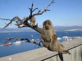 Gibraltar's Apes Look out over the Med