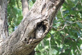 Collard Scops Owl