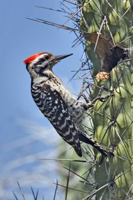 ladder back woodpecker