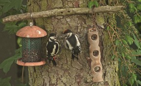 woodpeckers at feeder