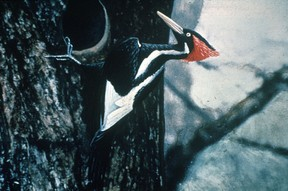 Ivory billed woodpecker