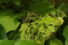 Japanese beetles eating leaves - photo by burntchestnut