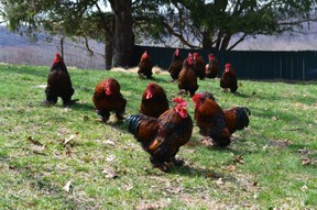 Bantam roosters