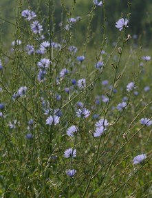 chicory growing in field