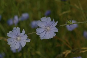 chicory blooms