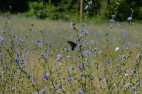 black butterfly on chicory