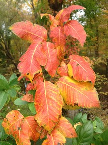 poison ivy leaves in autumn