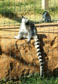 Lemurs at CARE