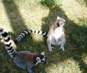 Two lemurs at Center for Animal Research and Education Center