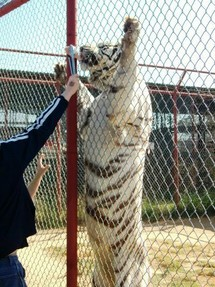 Feeding a chicken leg to a white tiger