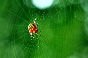 This is the Orb Weaver. Pretty lady.
