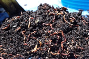 Composting worms and castings