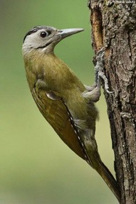 Grey Faced Woodpecker