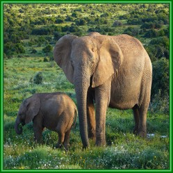 Why Are Elephants Endangered Species